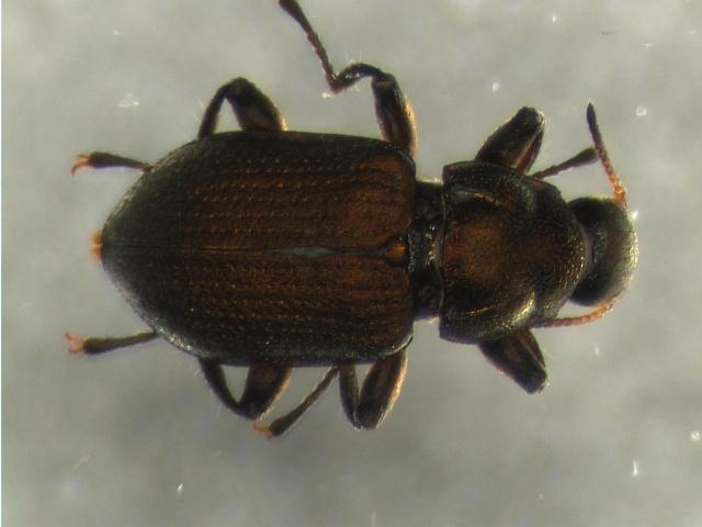 Image of <i>Kingolus metallicus</i>