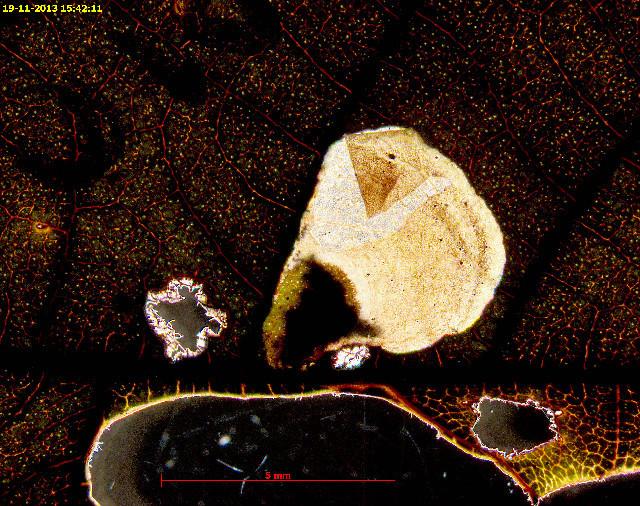 Image of <i>Coptodisca juglandiella</i>