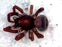 Image of Pronophaea