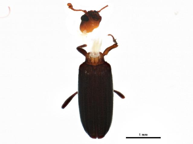 Image of dry bark beetles