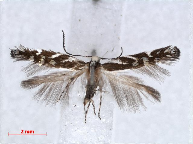 Image of Antequerinae