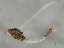 Image of <i>Paraleptophlebia guttata</i> (Mc Dunnough 1924)