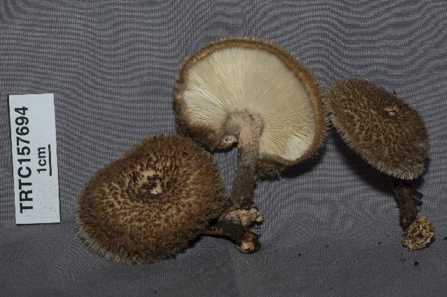 Image of Lentinellus