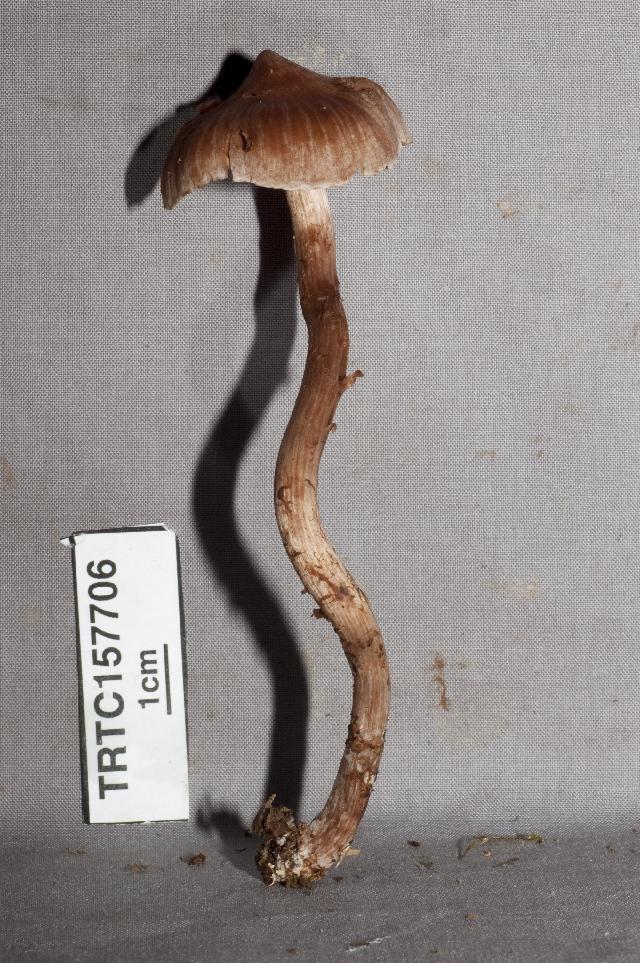 Image of <i>Cortinarius</i>