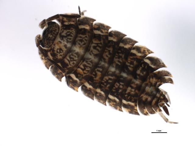 Image of Trachelipus