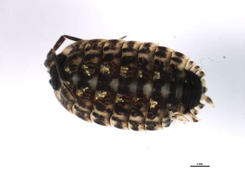 Image of <i>Porcellio spinicornis</i> Say 1818