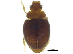 Image of <i>Nephus</i> (<i>Scymnobius</i>) <i>intrusus</i> (Horn 1895)