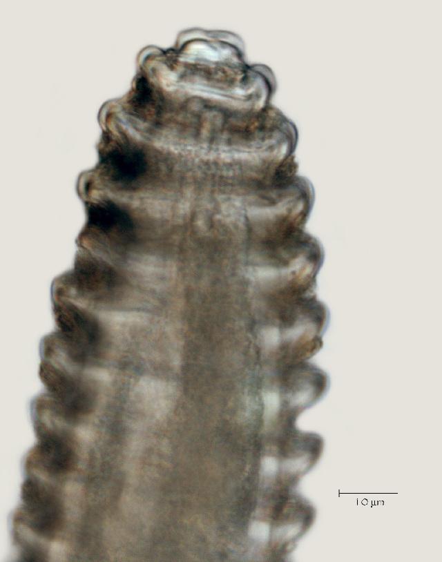 Image of <i>Lobocriconema</i>