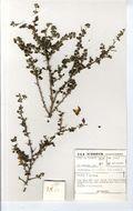Image of <i>Crotalaria monteiroi</i> var. <i>galpinii</i>