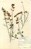 Image of Oldland rattlepod