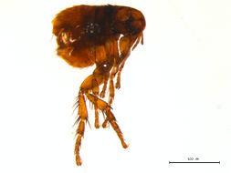 Image of <i>Cediopsylla simplex</i> (Baker 1895)
