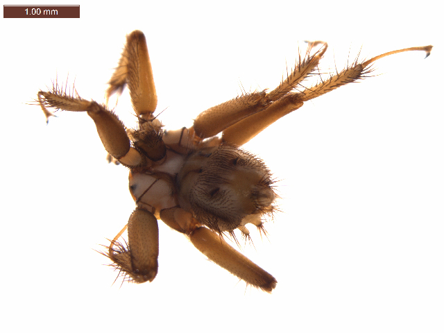 Image of Penicillidia