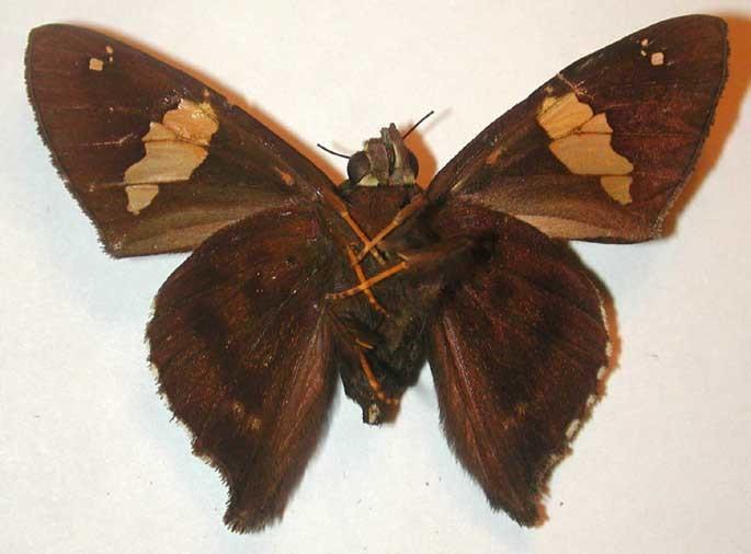 Image of Cephise