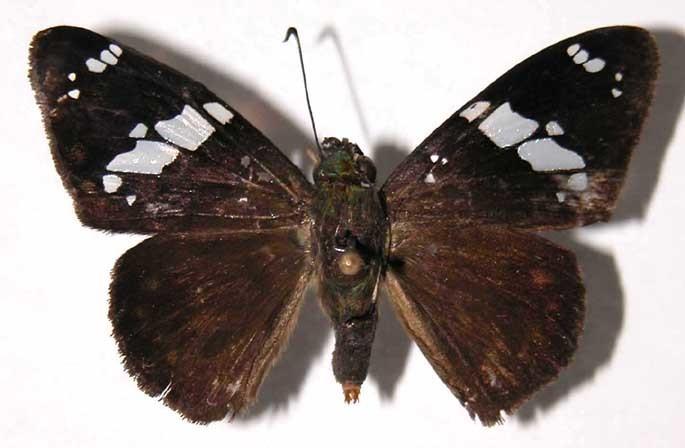 Image of Celaenorrhinus