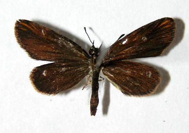 Image of <i>Apaustus gracilis</i> Felder & Felder 1867