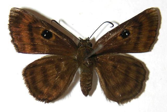 Image of <i>Cyclosemia anastomosis</i> Mabille 1878