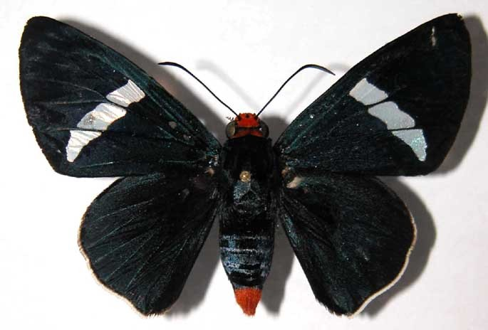 Image of <i>Pyrrhopyge crida</i> Hewitson 1871