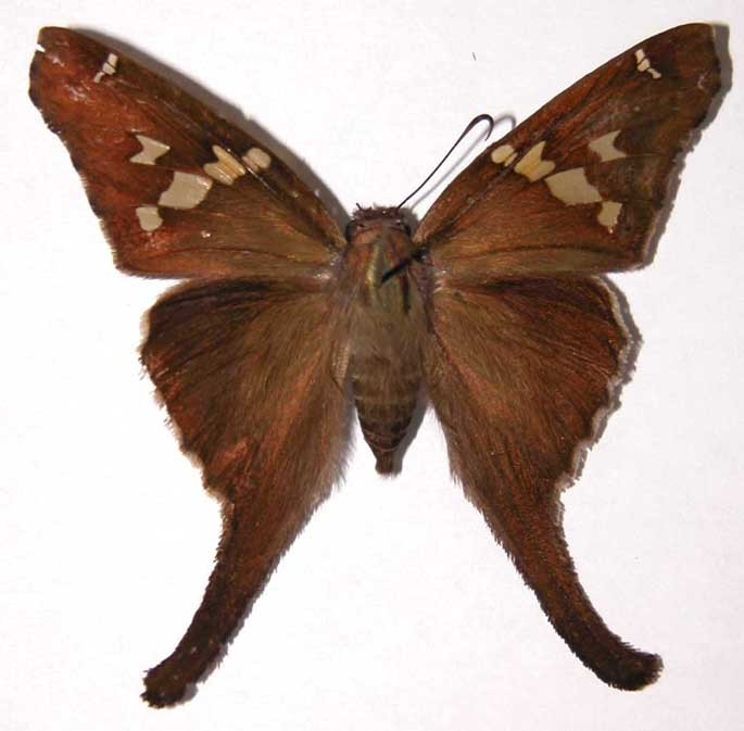 Image of Zilpa Longtail