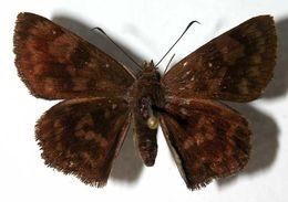 Image of Pachyneuria