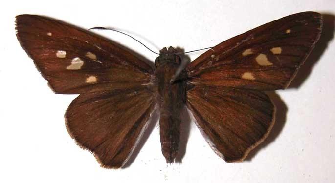 Image of <i>Damas clavus</i> Herrich-Schäffer 1869