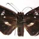 Image of <i>Dubiella belpa</i> Evans 1955