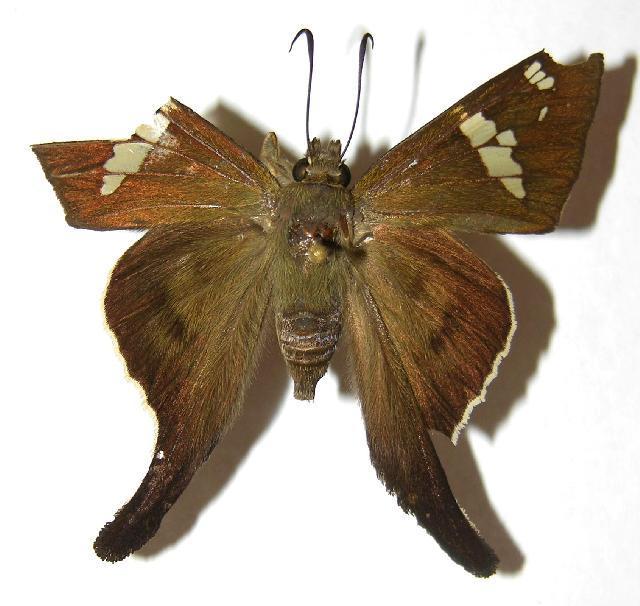 Image of <i>Cephise aelius</i>