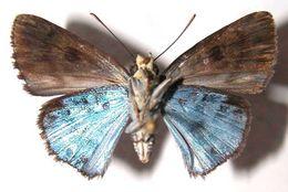Image of <i>Cyclosemia subcaerulea</i> Schaus 1913
