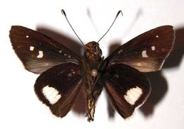 Image of <i>Cobalus fidicula</i> Hewitson 1877