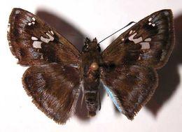 Image of <i>Quadrus cerialis</i>