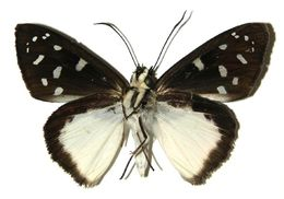 Image of <i>Hyalothyrus neleus</i> Linnaeus 1758