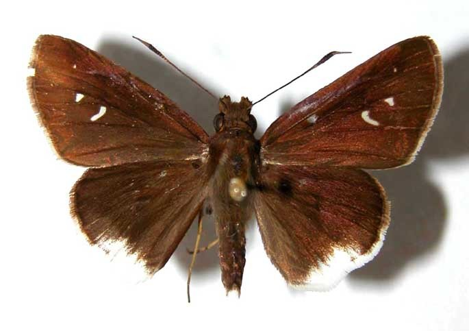 Image of <i>Cobalus virbius</i> Cramer 1777