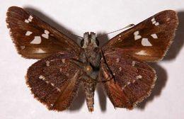 Image of <i>Atrytonopsis ovinia</i> Hewitson 1866