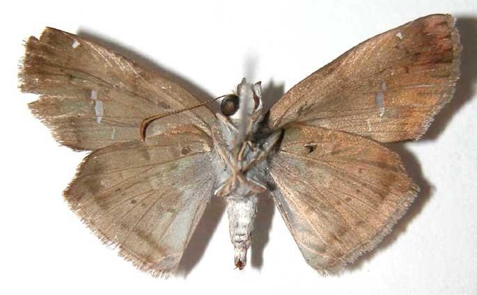 Image of <i>Gindanes brontinus</i> Godman & Salvin 1895