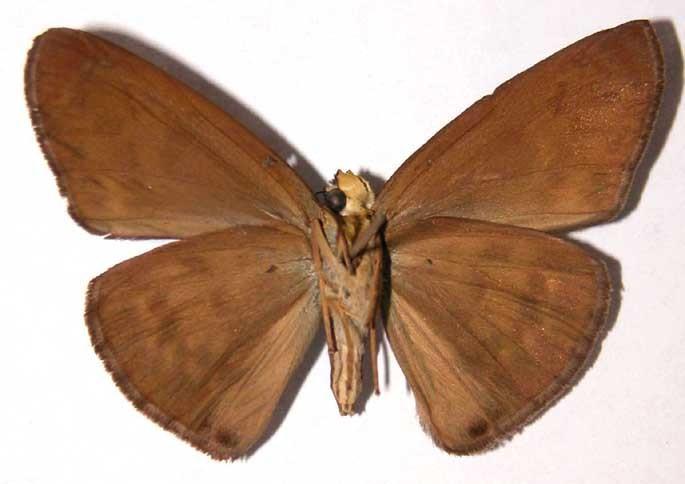 Image of <i>Grais stigmaticus</i> Mabille 1883