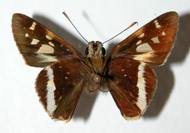 Image of <i>Vacerra caniola</i> Herrich-Schäffer 1869