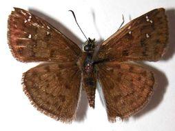 Image of <i>Carrhenes meridensis</i> Godman & Salvin 1895