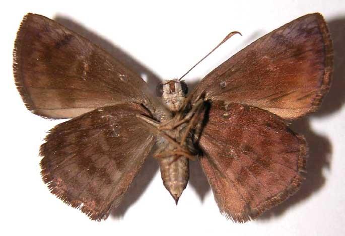 Image of <i>Pachyneuria licisca</i> Plötz 1882