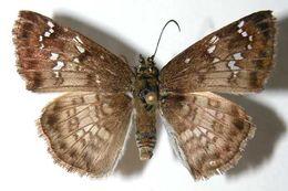 Image of <i>Carrhenes calidius</i> Godman & Salvin 1895