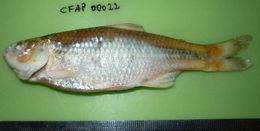 Image of Creagrutus