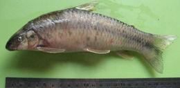 Image of Parodon
