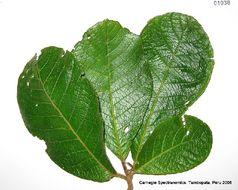 Image of <i>Sloanea brevipes</i> Benth.