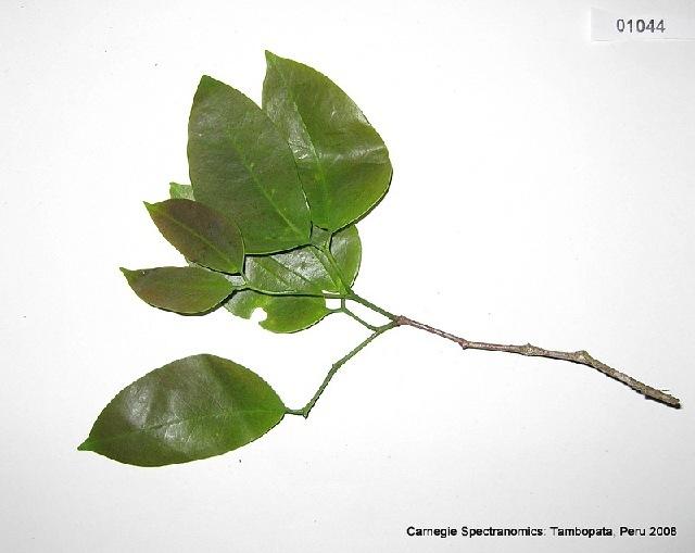 Image of <i>Hymenaea parvifolia</i> Huber