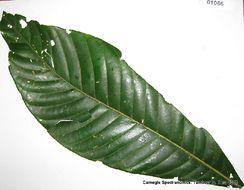 Image of <i>Calycophyllum megistocaulum</i> (K. Krause) C. M. Taylor
