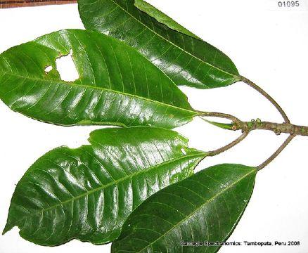 Image of <i>Ficus maxima</i> Mill.