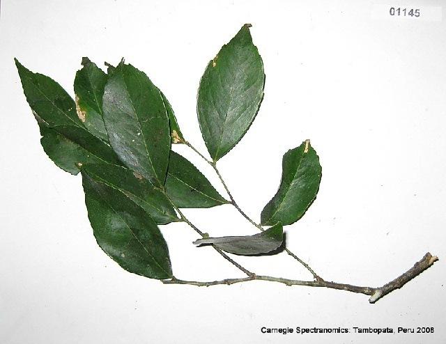 Image of Lecointea