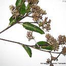 Image of calycophyllum