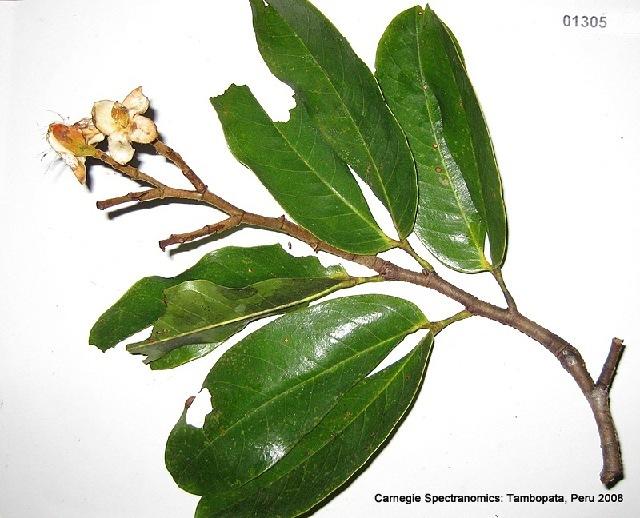 Image of hymenaea