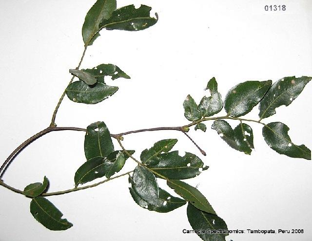 Image of copaifera