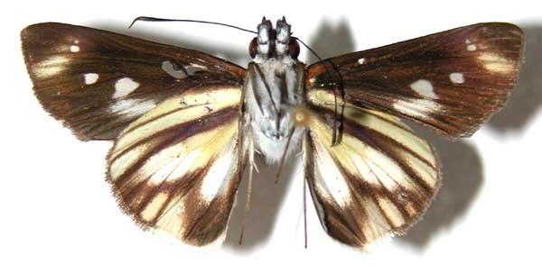 Image of <i>Vettius maeon</i> Mabille 1891