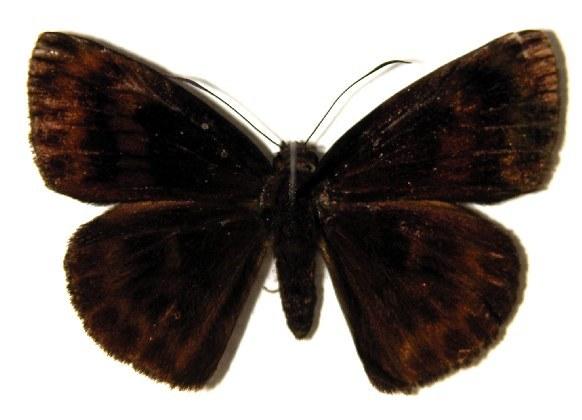 Image of <i>Tosta platypterus</i> Mabille 1895